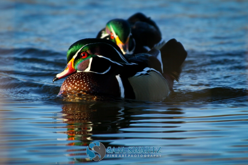 WoodDucks_0283