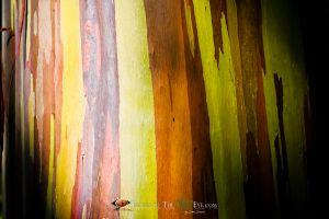 Rainbow Eucalyptus #4