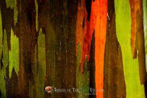 Rainbow Eucalyptus #1