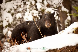Jasper Black Bear 1