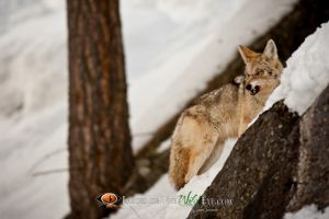 Yellowstone Coyote 1