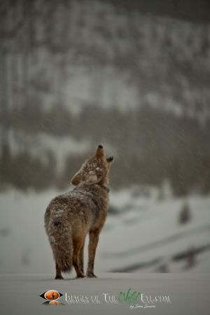Yellowstone Coyote 2