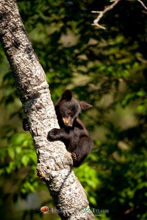 Black Bear Cub 6