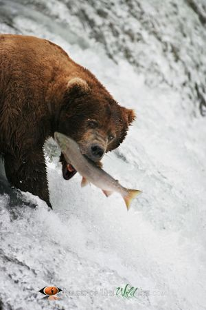 Katmai Grizzly 1