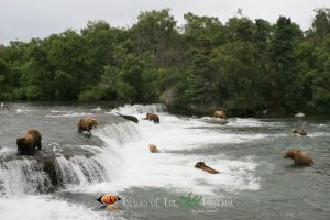 Katmai Grizzly 2