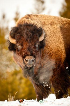 Yellowstone Bison 4