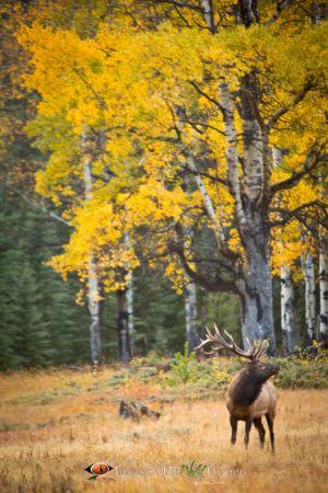 Jasper Bull Elk 4