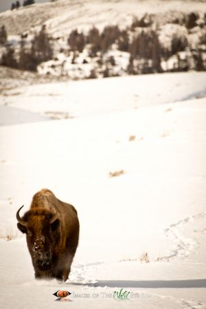 Yellowstone Bison 1