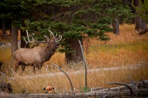 Yellowstone Bull Elk 1