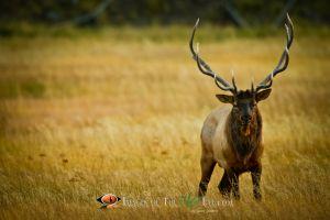 Yellowstone Bull Elk 2