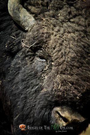 Yellowstone Bison 3