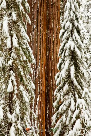 Old Growth Sequoia