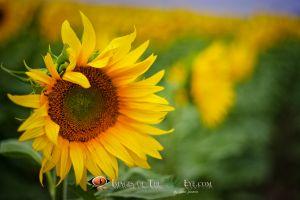 Fields Sunflowers