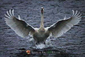 Swans2010_(1664).jpg