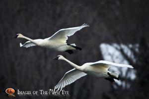 Swans2010_(2077).jpg