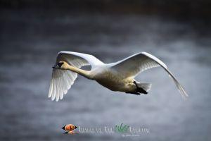 Swans2010_(3364).jpg