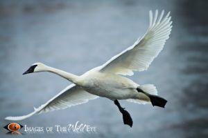 Swans2010_(378).jpg