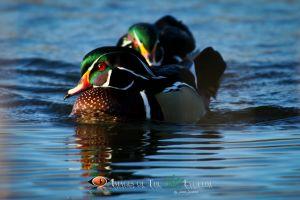 Wood Ducks (0283)