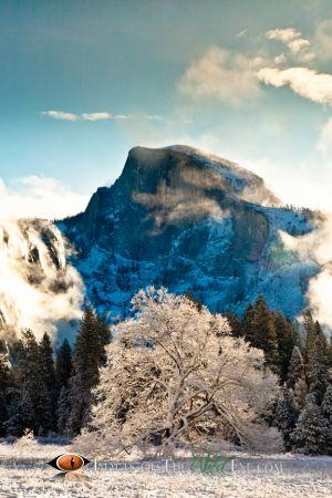 Yosemite Valley Oak